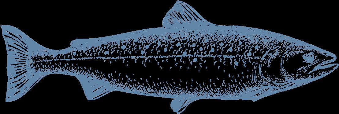 La frescura de las aguas del sur de Chile es ideal para el cultivo del Salmón Atlántico, un pez grande, de cuerpo alargado y con un característico color plateado con puntos negros en su cuerpo. Su carne es muy versátil para todo tipo de cortes, además de ser muy saludable por su alto contenido de proteínas y Omega-3. - Producto de Aqua Chile