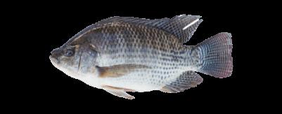 La Tilapia es un alimento bajo en calorías que es rico en proteínas, minerales y vitaminas esenciales. La Tilapia de AquaChile se cultiva en aguas dulces en Costa Rica, con mucho cuidado por su bienestar, el medio ambiente y la salud de quiénes van a consumirla. - Producto de Aqua Chile